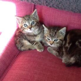 Two beautiful tabby kittens2