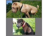 Shar pei dogs KC registered