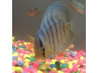 Fish for sale 31 fish includes 1large discus fish and other 1meduim size 1
