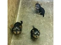 3 Yorkshire Terrier Pups For Sale