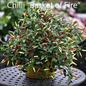 """Chilli Plants """"Basket of Fire"""" in 9 cm Pot £1.50 each Ready to grow on."""