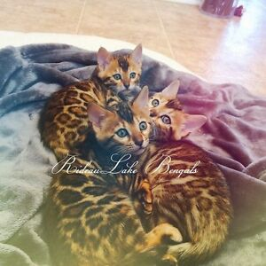 Superb TICA Registered Bengal Kittens