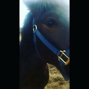 3year old male quarter horse mixed with pony  needs a new home