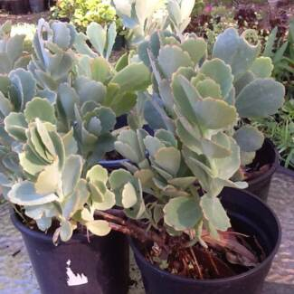 SUCCULENTS  FOR  SALE Woodrising Lake Macquarie Area Preview