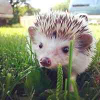 Hedgehogs for sale including everything!