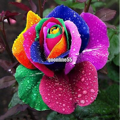 500 PCS Multi-color Rare Rainbow Rose Flower Seeds Garden Plants Valentine Hot /