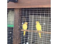Pair yellow ring neck parrots