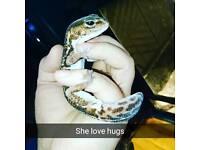 Geckos fat tailed male & female