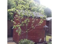 Apple tree in barrel