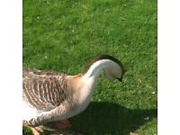 Chinse geese for sale collection only from Torquay