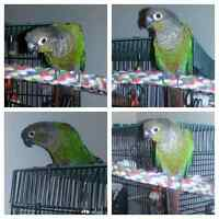 Green Cheeked Conure for Sale!!