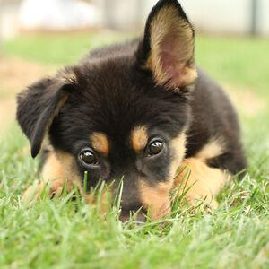 Wanted : Purebred German Shepherd Puppy