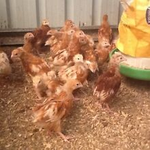 8 week old isa brown chickens Thornton Maitland Area Preview
