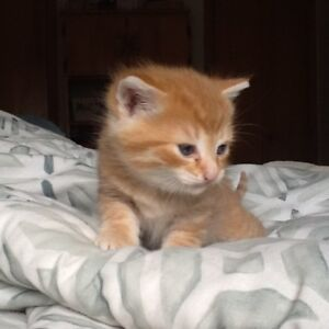 CHATON TABBY AFFECTUEUX