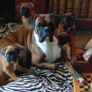 Boxer | Adopt Dogs & Puppies Locally in Toronto (GTA