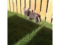 Blue French Bulldog 11 week puppie Girl