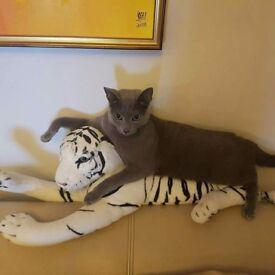 Russian blue young cat kitten