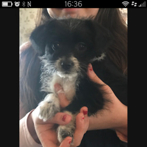 Cute Maltese / Chihuahua / Pomeranian mix puppies for sale.