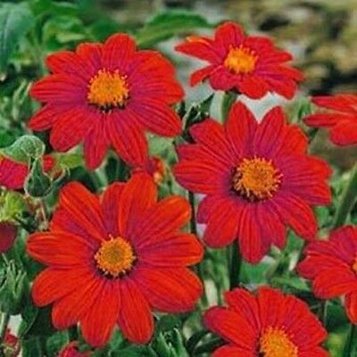 Sunflower- Mexican Red- Tithonia Speciosa- 50 Seeds- BOGO 50% off SALE