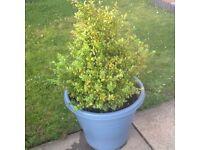 2 Large box plants & 3 privet hedge plants for sale