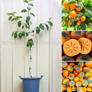 Grafted Fuyu Persimmon Fruit Trees plants Perth