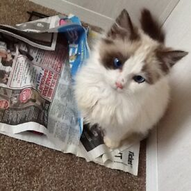 Bicolour Ragdoll kitten for sale female 5 months old only available until 24 May