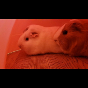 Female guinea pigs . Cage and accessories