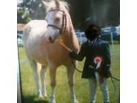 12hh palomino sec a gelding for sale
