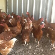 Chickens point of lay pullets Thornton Maitland Area Preview