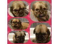 Shih tzu puppies full pedigree with pedigree paperwork for sale