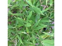 Bamboo plants with lovely green foliage, various sizes