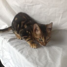 Bengal kitten,1 marbled boy left,ready now.
