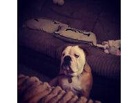 6 month old British Bulldog, KC registered, fantastic blood line, gorgeous dog £1500