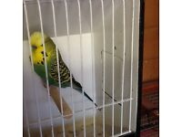 Quality exhibition budgies for sale as selling up