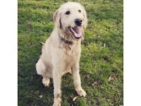 Beautiful Labradoodle 2 years old