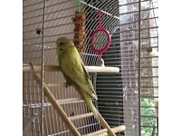 Budgie and cage