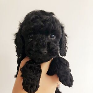 Purebred Toy Poodle Boy Puppy READY TO GO HOME
