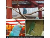 pair of ringneck parrots birds
