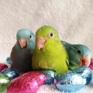 ❤♥☆♥ Parrotlets ♥ Babies with Cage and Food ♥☆♥❤ Cambridge Kitchener Area image 1