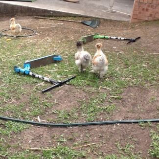 Silkie roosters - chickens