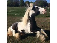 Pony for loan