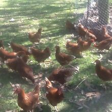 Chickens. Isa brown pullets. Thornton Maitland Area Preview