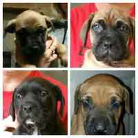 Mastiff pups for valentine's