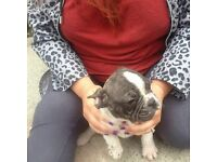 French bulldogs for sale 3males