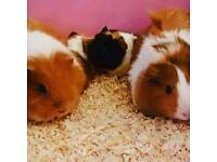 NOW SOLD Baby guinea pigs for sale