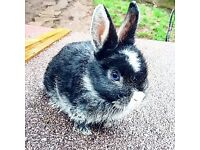 Mini lop cross Netherland dwarf babies
