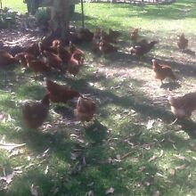 Free range isa brown chickens/pullets/hens Thornton Maitland Area Preview