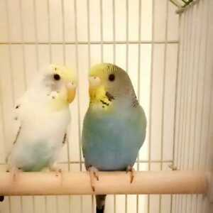 LOST/ MISSING PARAKEETS/ BUDGIES/ BIRDS