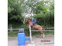 Stunning 16.1 chestnut Belgium Warmblood 6 year old mare