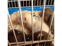 Half micro ferrets